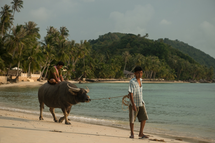Man leading Ox, Taling Ngam Beach, Ko Samui Island, Surat Thani, Thailand