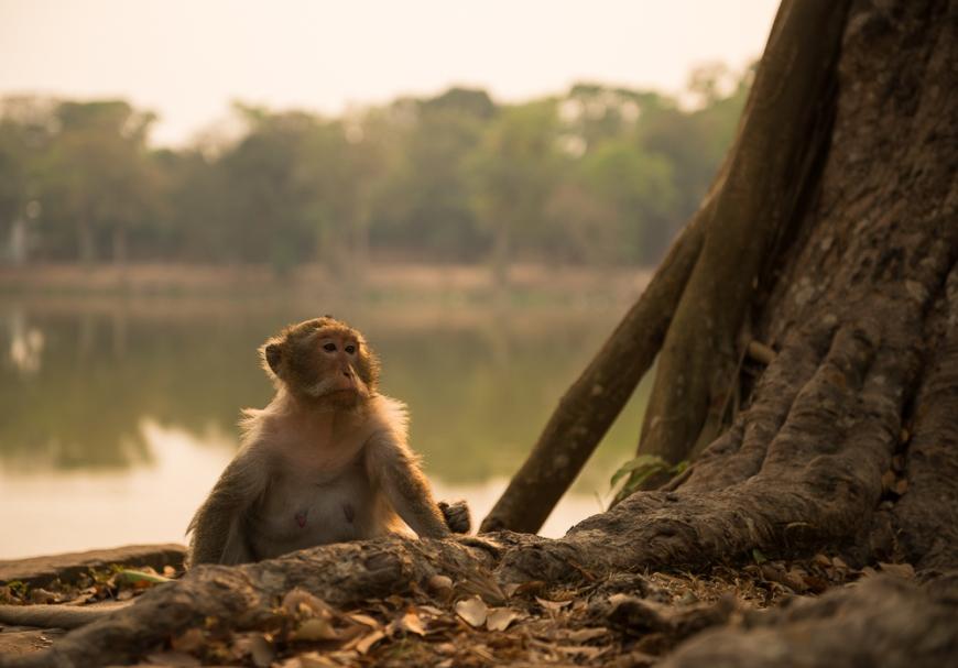 Monkeys near Angkor Wat, Siem Reap, Cambodia