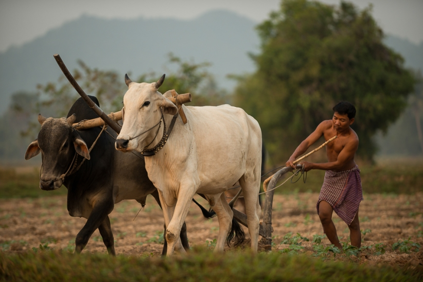 Farmer working with Cattle driven Plough, Kep, Kep Province, Cambodia, Indochina, Asia