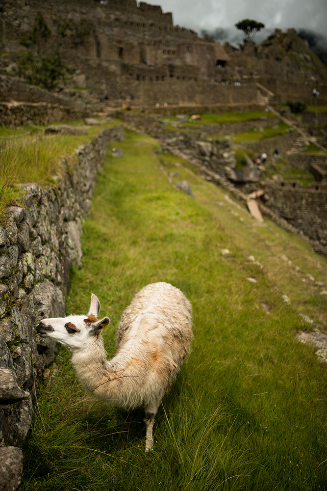 Llama at Machu Picchu, The Sacred Valley, Peru