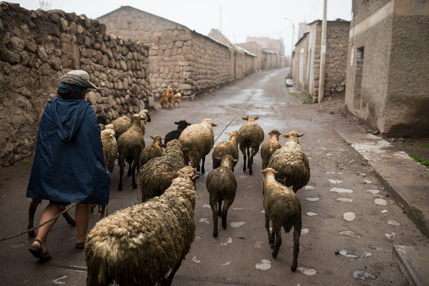 Sheep being led home by farmers, Cabanaconde, Colca Canyon, Peru