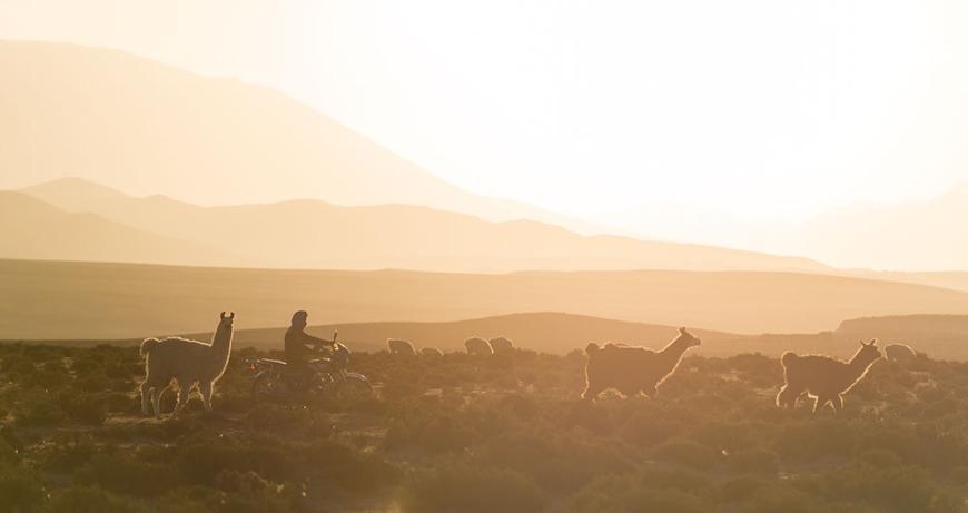 Llamas at dusk, Villa Alota, Southern Altiplano, Bolivia