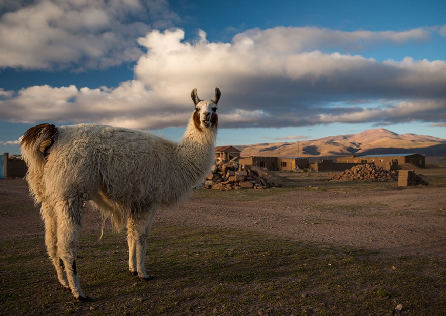 Llama's at Dawn in Villa Alota, Southern Altiplano, Bolivia