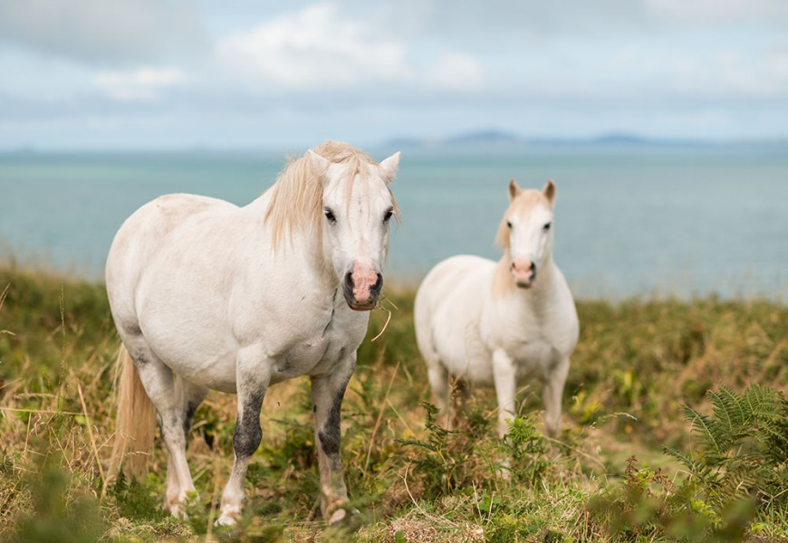 Wild Horses, Pembrokeshire Coast National Park, Wales, UK