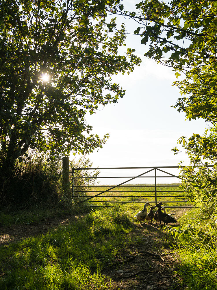 Geese standing by field gate, Pembrokeshire Coast National Park, Wales, UK