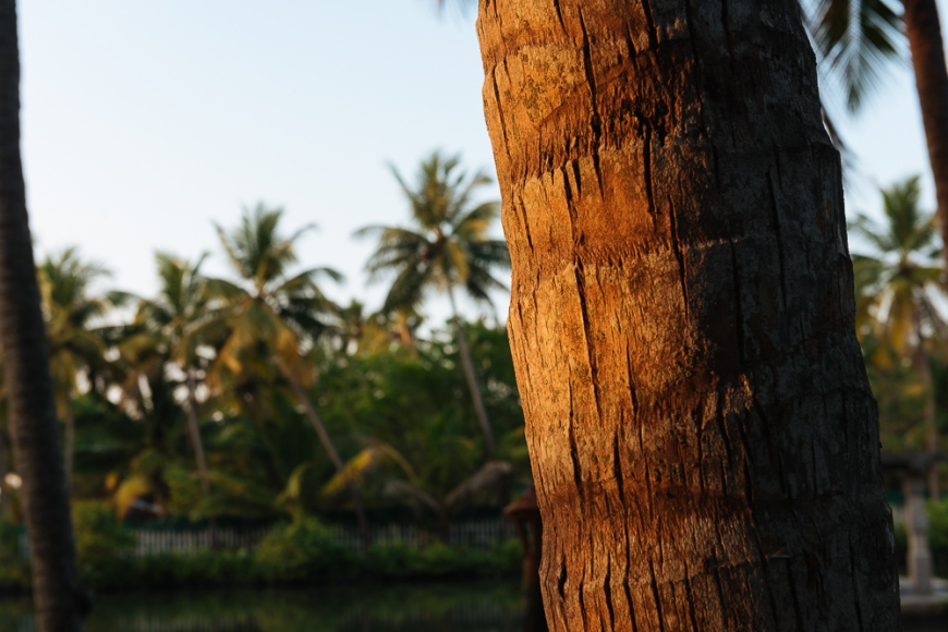 Detail of palm tree on backwaters near North Paravoor, Kerala, India