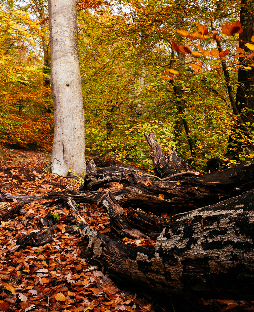 Burnham Beeches, Buckinghamshire, England