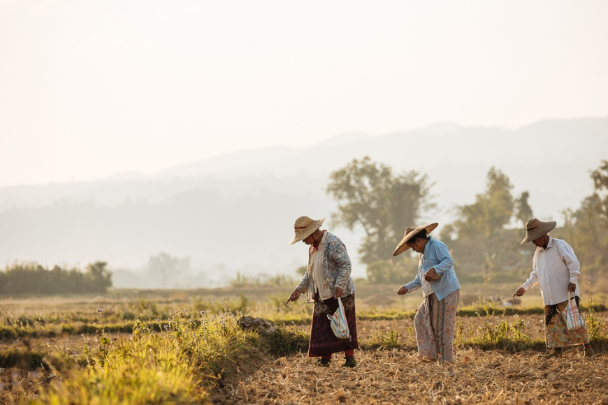 People working in Paddy fields near Hsipaw, Shan State, Myanmar, Asia