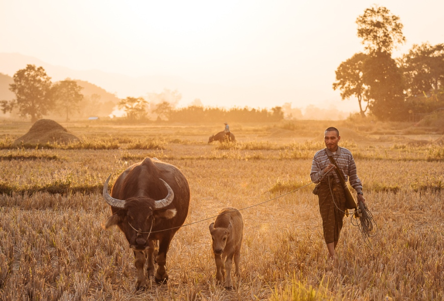 Farmer leading Water Buffalo home for evening, Hsipaw, Shan State, Myanmar, Asia