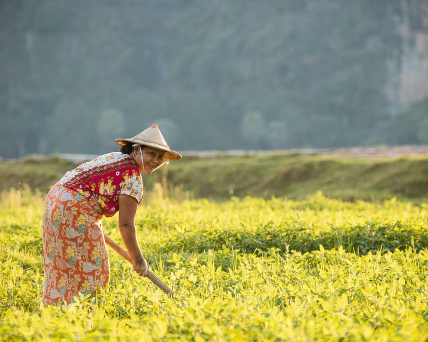 Burmese woman working in paddy fields, Hpa-an, Kayin State. Myanmar, Asia