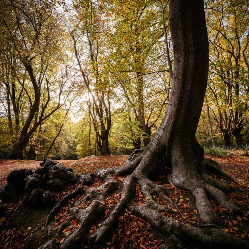 Autumn colours in Epping Forest last week - its a wonderful time of year for a walk in the woods.