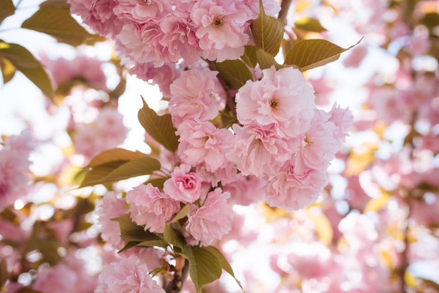 Cherry Blossom, Longtan Park, Beijing, China