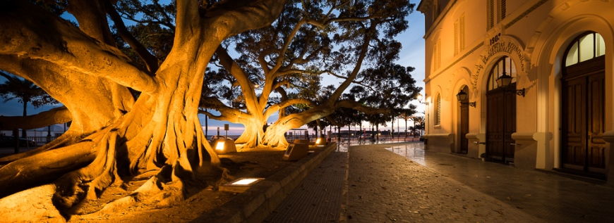Old Ficus Tree at twilight, Cadiz, Andalucia, Spain