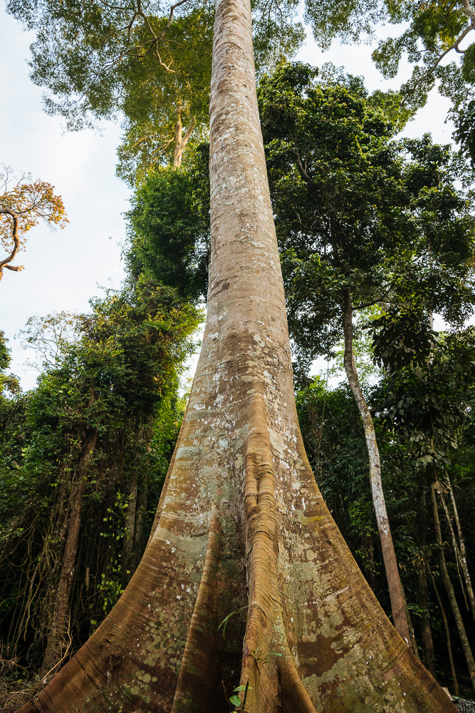 Kapok (Ceiba Pentandra) Tree in Rainforest of Kakum National Park, Ghana, Africa