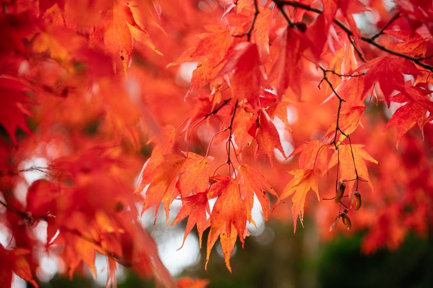 Maple leaves during Autumn, Rydal Mount, Rydal, Lake District, Cumbria, England, United Kingdom