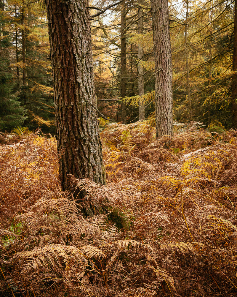 Autumn foilage in Grizedale Forest, Lake District, Cumbria, England, United Kingdom