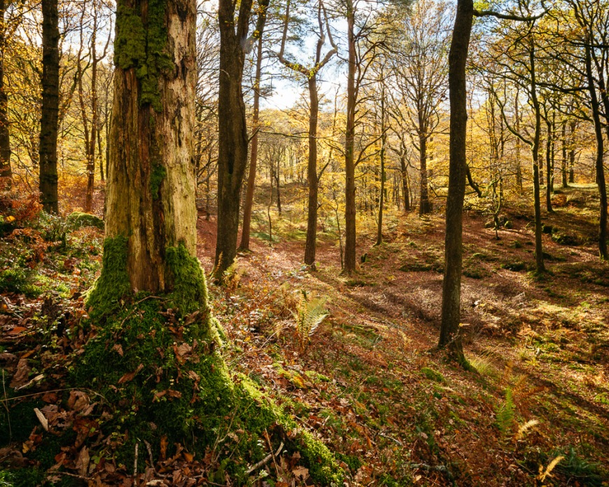 Autumn colours in Penny Rock Woods, Grasmere, Lake District, Cumbria, England, United Kingdom