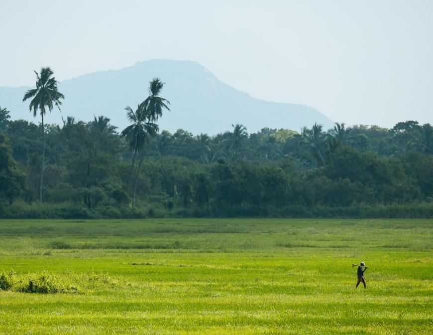 Paddy Fields, Anuradhapura, Sri Lanka, Asia