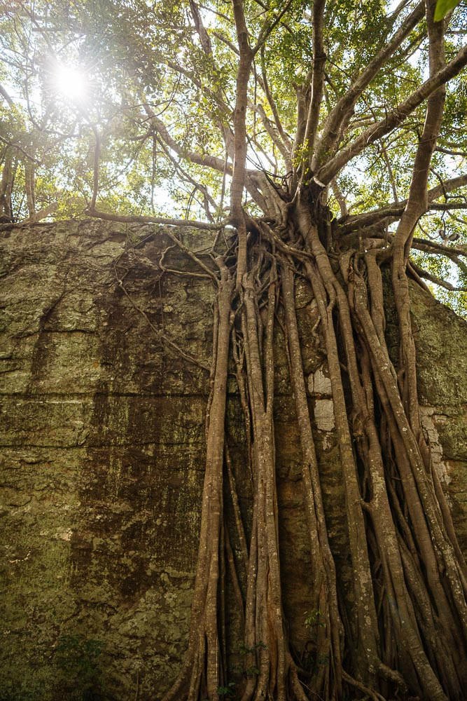Roots of tree, Sigiriya, Central Province, Sri Lanka, Asia