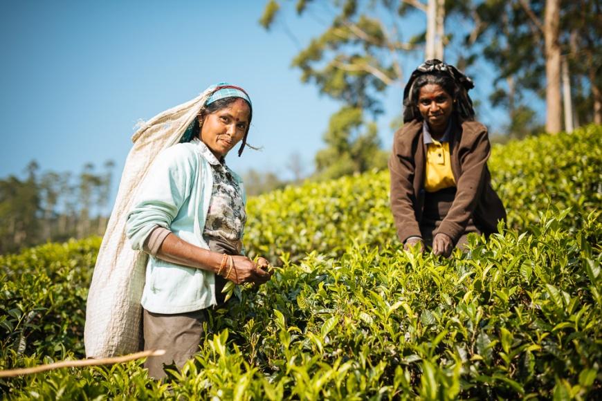 Tamil Woman Tea Picker in a Tea Plantation in the Highlands, Nuwara Eliya, Central Province, Sri Lanka, Asia
