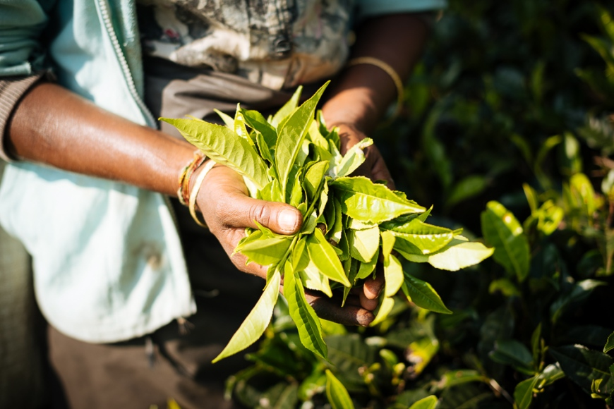 Tea Plantation in the Highlands, Nuwara Eliya, Central Province, Sri Lanka, Asia