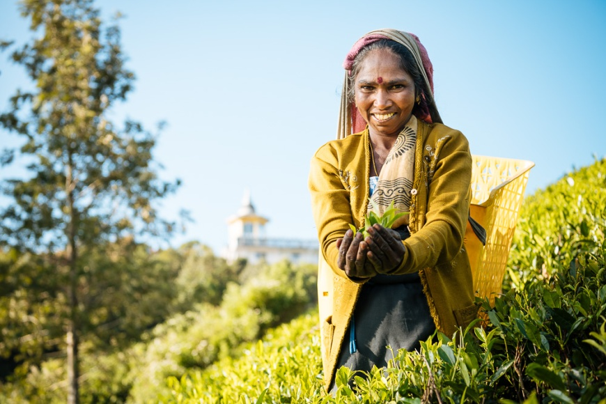 Yogulaximi working as a Tea Picker in Pedro Tea Plantation in the Highlands, Nuwara Eliya, Central Province, Sri Lanka, Asia