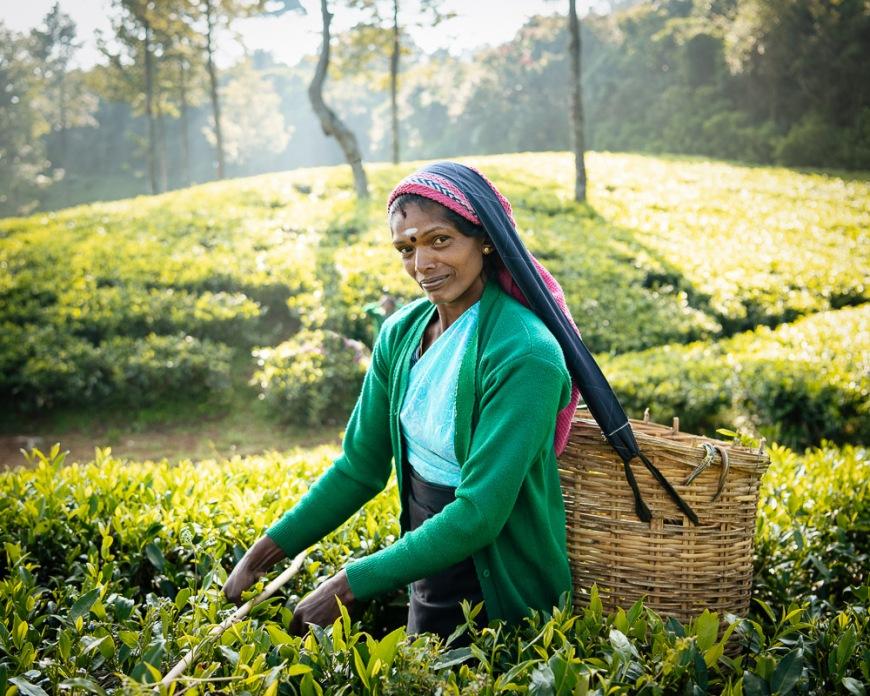 Selvanayagie working as a Tea Picker in Pedro Tea Plantation in the Highlands, Nuwara Eliya, Central Province, Sri Lanka, Asia