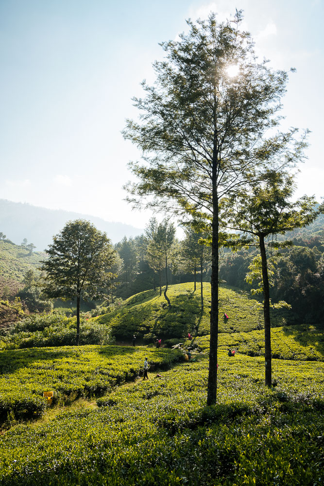 Pedro Tea Plantation) in the Highlands, Nuwara Eliya, Central Province, Sri Lanka, Asia