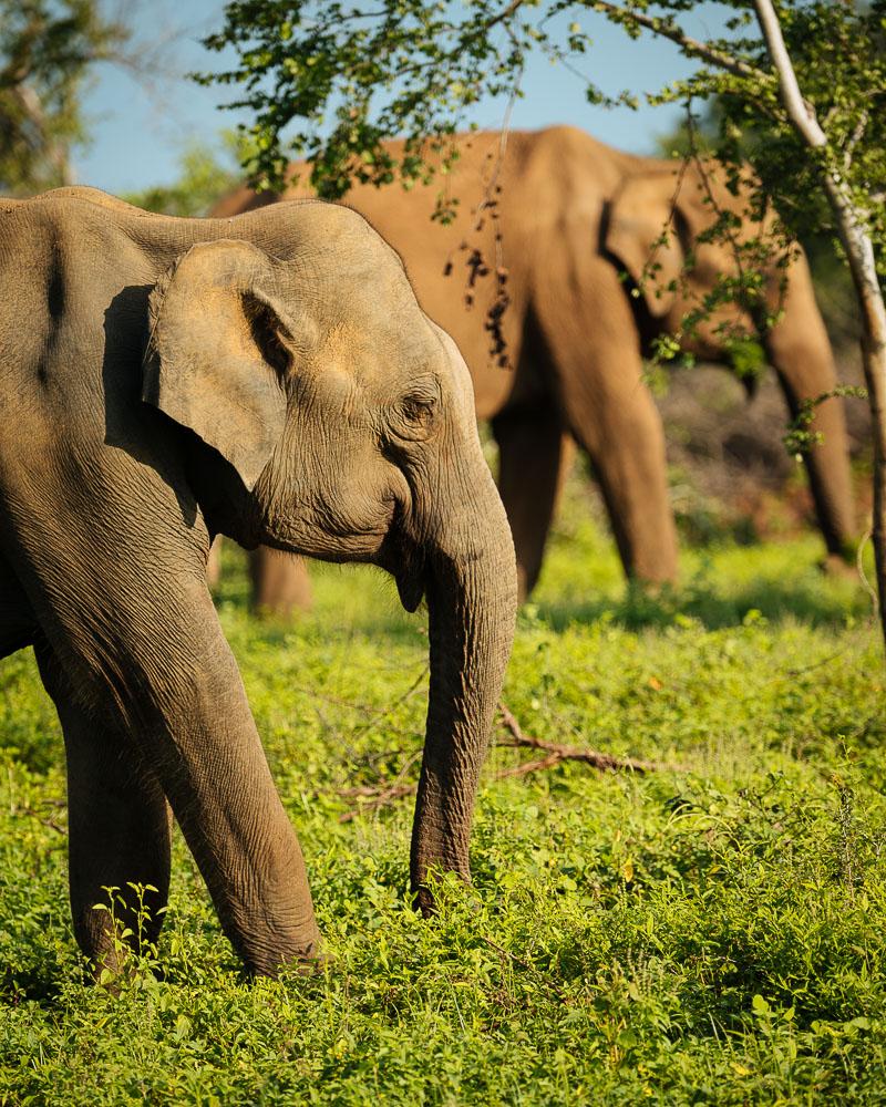 Elephants in Uda Walawe National Park, Uva Province, Sri Lanka, Asia