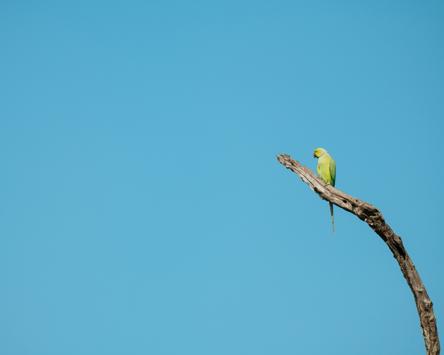 Parrot on branch, Uda Walawe National Park, Uva Province, Sri Lanka, Asia