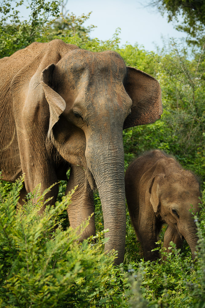 Wild Elephants in Uda Walawe National Park, Uva Province, Sri Lanka, Asia