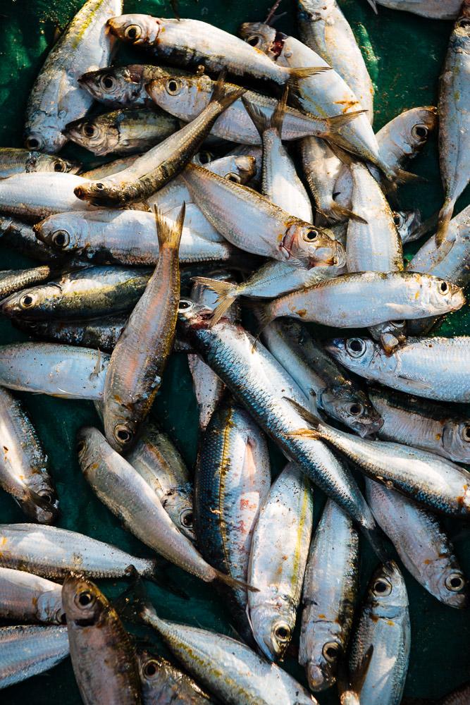 Freshly caught fish lying on beach, Talalla Beach, South Coast, Sri Lanka, Asia