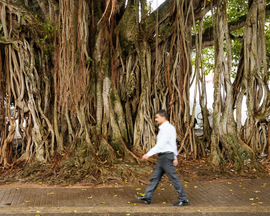 Man walking past ancient tree, Galle, South Coast, Sri Lanka, Asia