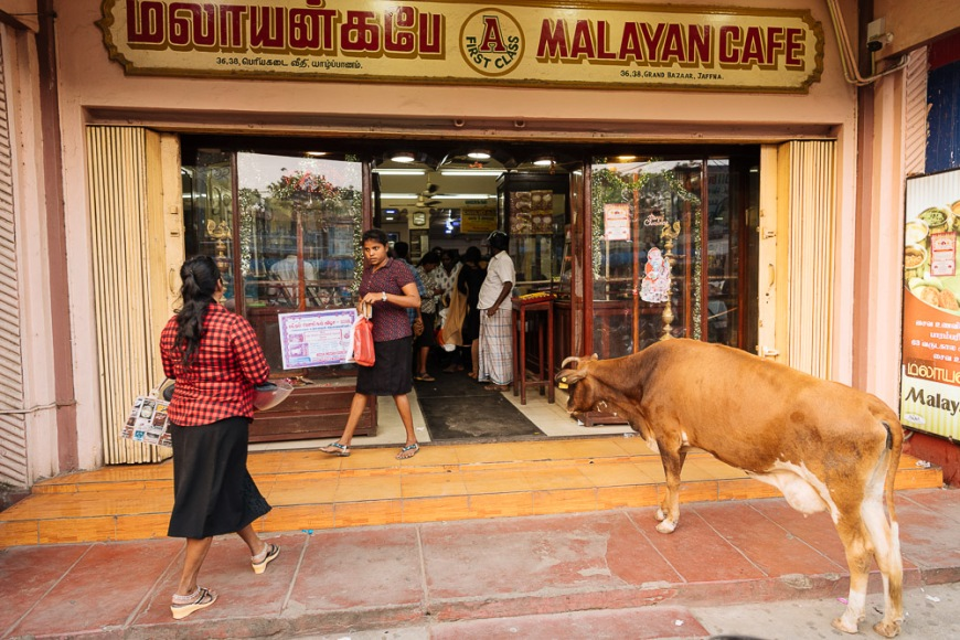 Cow standing outside shop, Jaffna, Northern Province, Sri Lanka, Asia