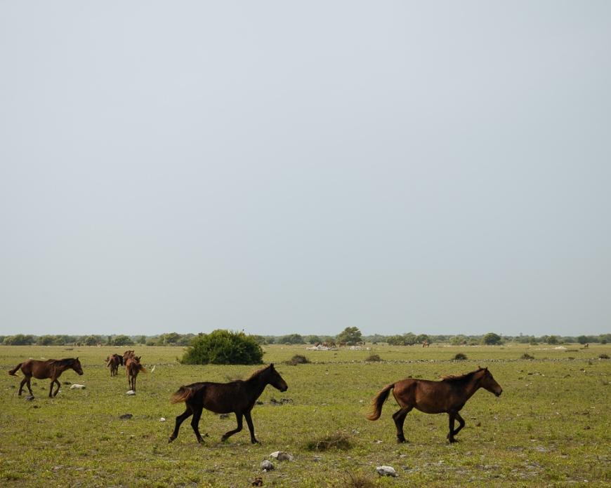 Wild Horses, Delft Island, Northern Province, Sri Lanka, Asia