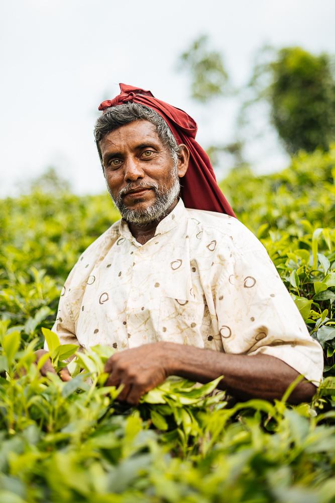 Teapickers working on Tea Plantation, Sinharaja Rainforest National Park, Deniyaya, Southern Province, Sri Lanka, Asia